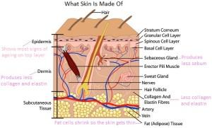 Diagram of the Human Skin